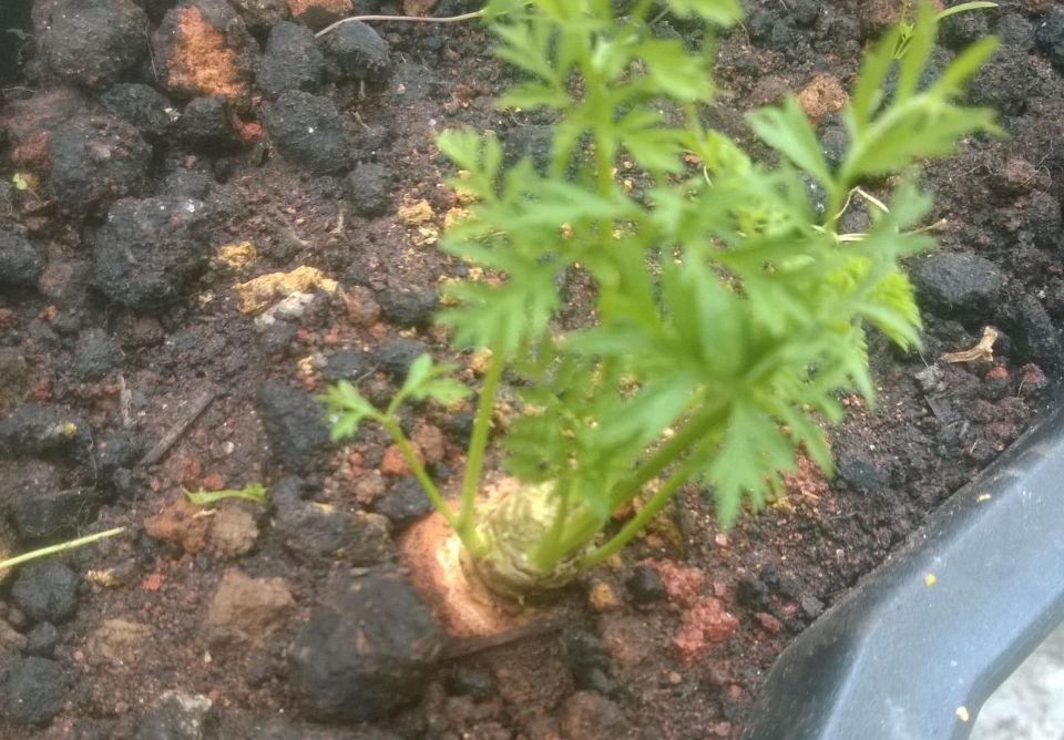 Pé de cenoura plantado num vaso preto