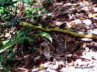 Vídeo raro: Cobra é filmada na Juréia chacoalhando o rabo