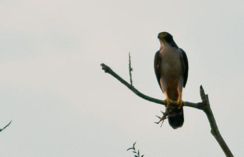 7 anos: Relembre o emocionante registro do Gavião considerado extinto no sudeste brasileiro
