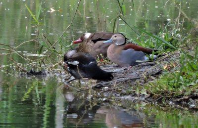 Birdwatching: Durante as férias de julho, Peruíbe registra novas espécies no Wikiaves