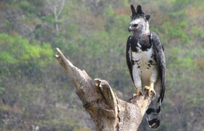 Harpia, Gavião ameaçado de extinção, é gravado na área a ser destruída pela Termoelétrica
