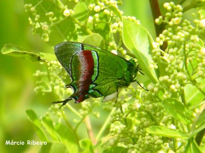 (Evenus regalis): Linda e rara borboleta é fotografada pela 1ª vez em Peruíbe