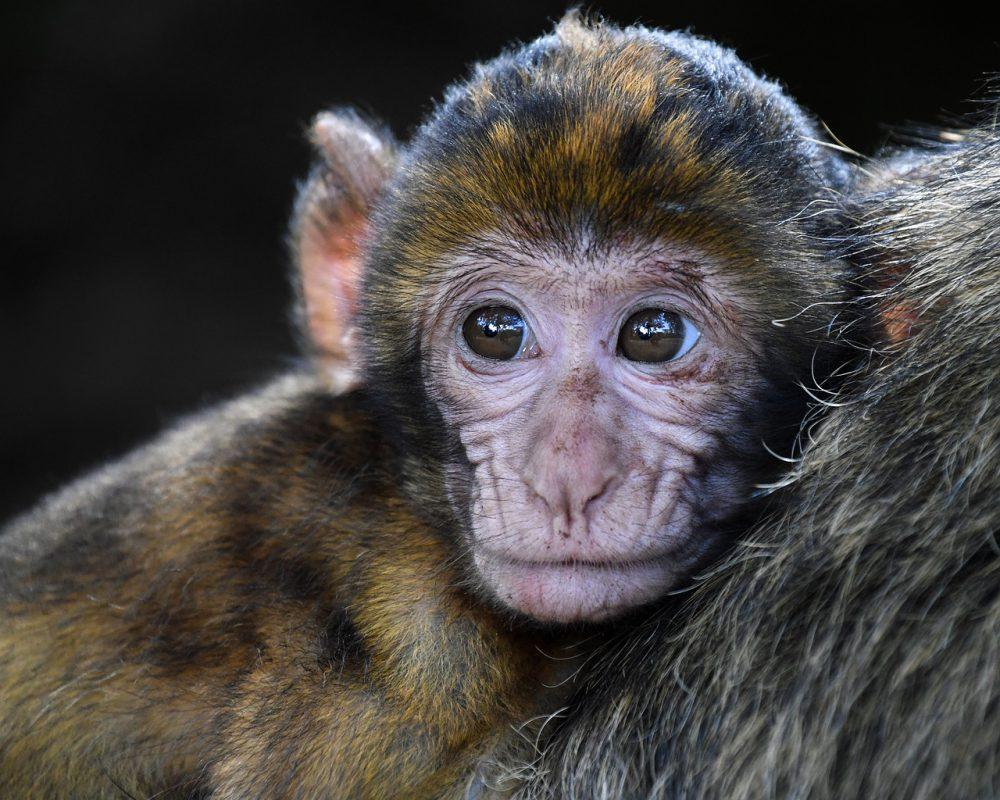 monkey-2790452_1280
