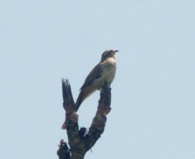 Conheça o Saci: A ave misteriosa que está ativa nestes meses do ano na região
