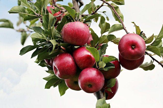 Pomar de macieira