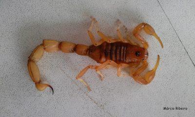 Cuidado! Escorpião-amarelo é capturado em  Peruíbe