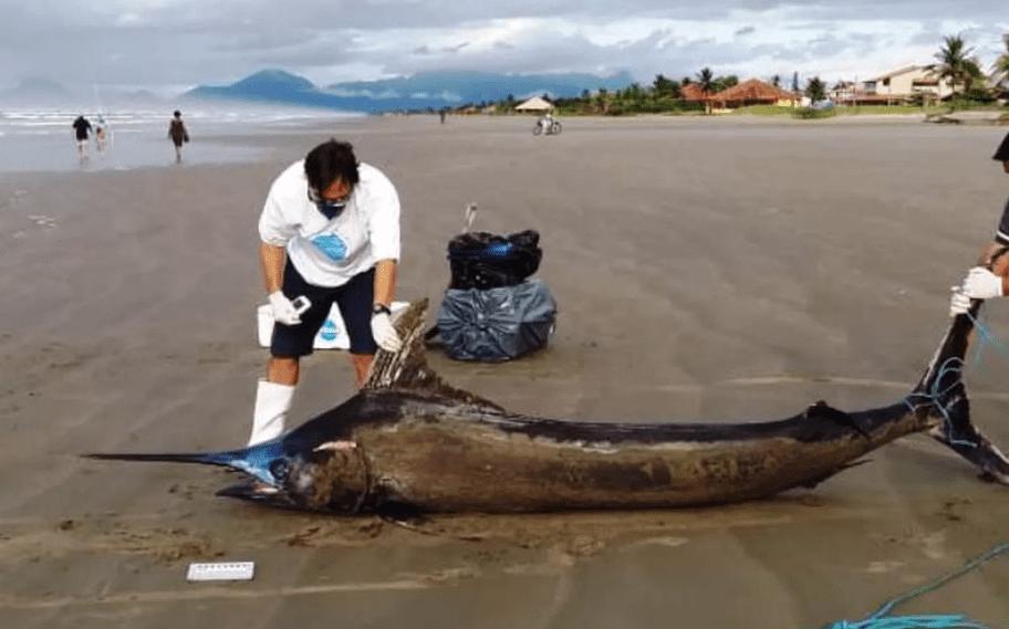 Peixe raro de 200 quilos é encontrado após temporal que castigou o litoral