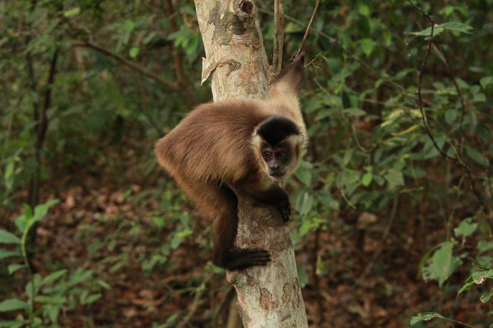 Quarentena: Bando de macacos-pregos é filmado na Trilha do Costão, em Peruíbe / SP