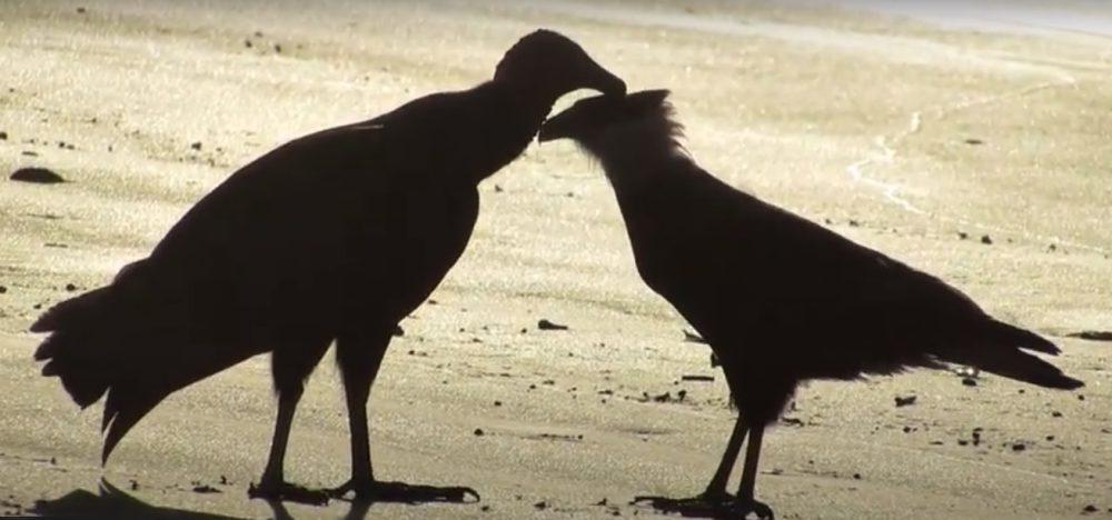 Flagrante: Urubu e Gavião trocam carícias em Praia de Peruíbe/SP